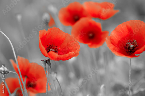 Poster Poppy red poppies on b/w field