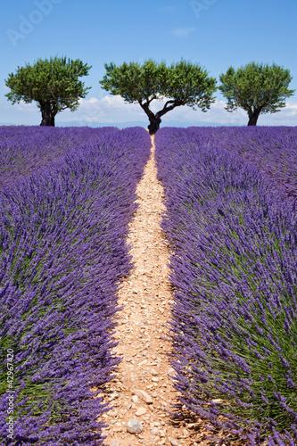 Fotobehang Lavendel Chemin de la lavande