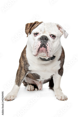 Poster Countryside Old English Bulldog