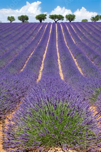 Tuinposter Lavendel Champ de Lavande à Valensole
