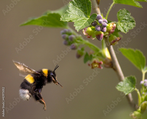 Foto bumble bee flying to flower