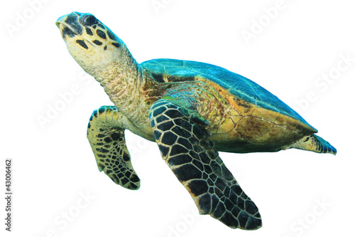 Deurstickers Schildpad Hawksbill Sea Turtles isolated on white