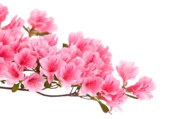 Grana ružičaste azaleje izolirana na bijeloj