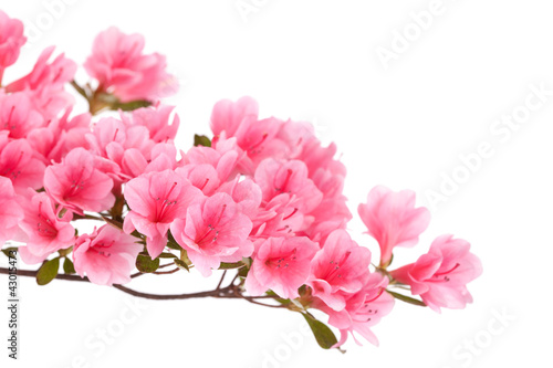 Pink azalea branch isolated on white