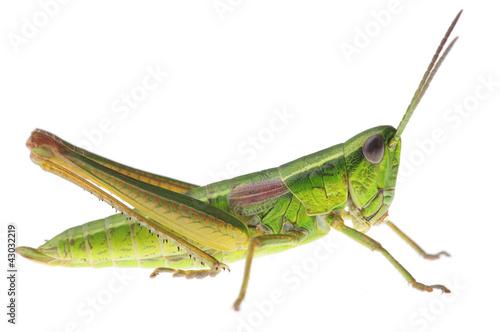Valokuvatapetti Grasshopper