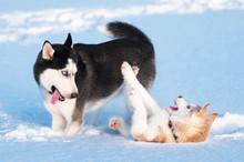 Two Siberian Husky Playing On Snow