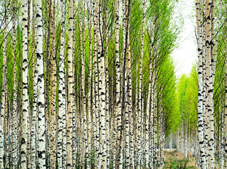 Fototapeta Brzoza Birch trees in spring
