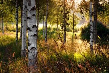 Panel Szklany Podświetlane Skandynawski Birch trees