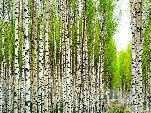 Spoed Foto op Canvas Berkbosje Birch trees in spring