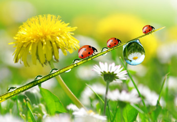 Fototapeta Dmuchawce fresh morning dew and ladybird