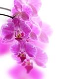 Różowa orchidea w makro