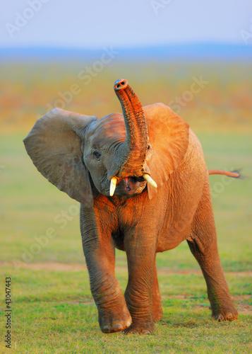 Obrazy na płótnie Canvas Baby Elephant - raised trunk
