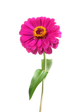 Zinnia Isolated On White