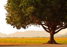 A Big Tree Near Sunflower Field Lop Buri, Thailand