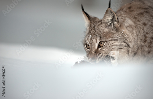 Foto auf Leinwand Luchs Eurasian Lynx