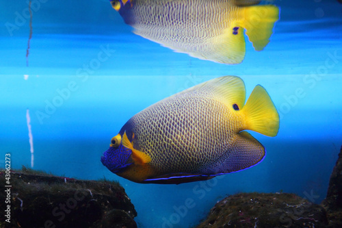 Poster Sous-marin Emperor Angelfish