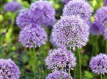 Ornamental  Allium