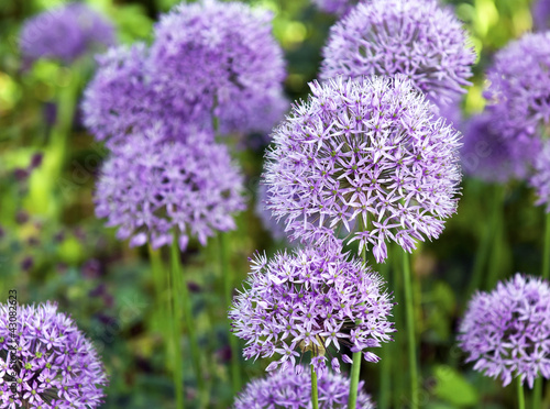 Ornamental  Allium Canvas Print