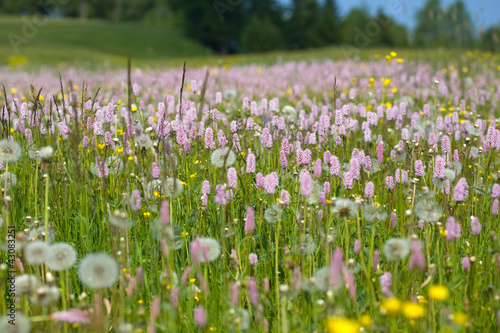 Fotografie, Obraz  Prato in fiore Alpe di Siusi