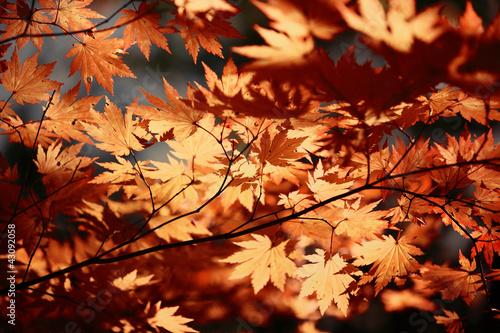autumn-klonowe-listowie