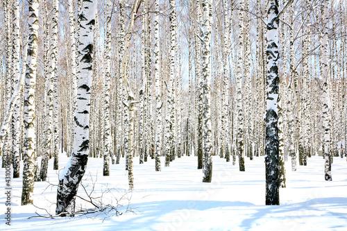 Deurstickers Berkbosje April birch grove in sunlight