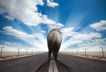 Elephant On Asphalt Road