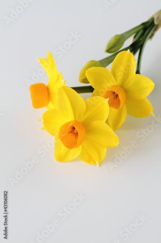 Papiers peints Narcisse 早春の水仙Narcissus
