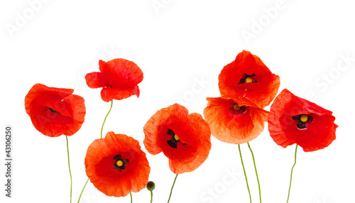 Foto auf Leinwand Mohn red poppies