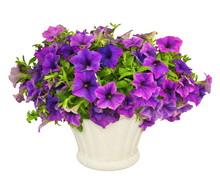 Pétunias Violets