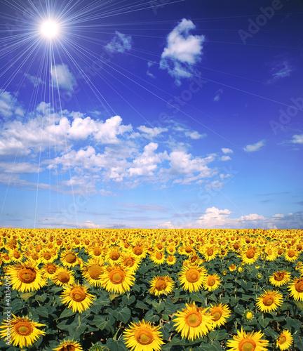La pose en embrasure Bleu fonce Tournesols au soleil
