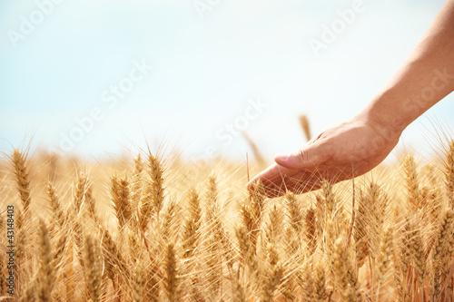 Foto-Duschvorhang - Hand in wheat field