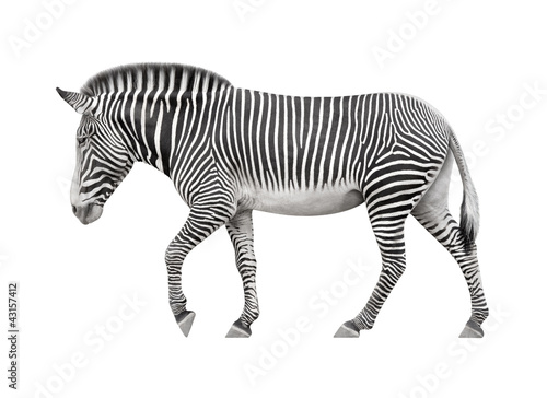 Tuinposter Zebra zebra walking on a white background
