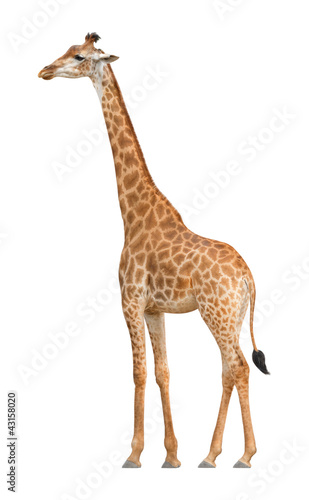 Foto op Canvas Giraffe Giraffe walking on a white background