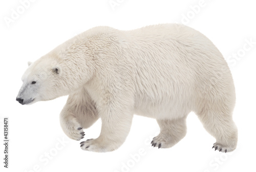 Poster Ours Blanc bear walking on a white background