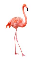Ptica flamingo šetajući na bijeloj pozadini
