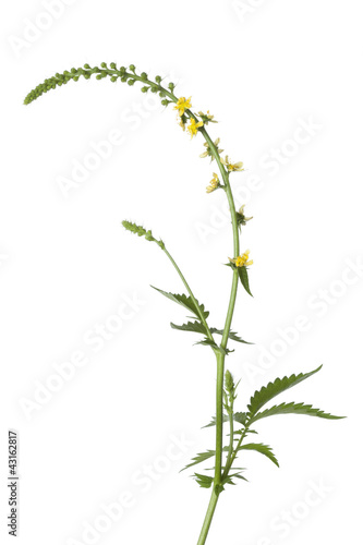 Fresh blooming agrimony Wallpaper Mural