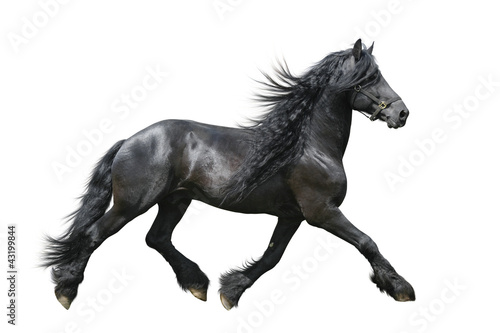 Obraz na płótnie Friesian horse on a white background