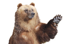 The Brown Bear Welcomes With A Paw Isolated On White