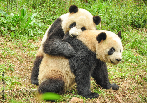 Foto auf AluDibond Pandas Two Great Pandas playing together