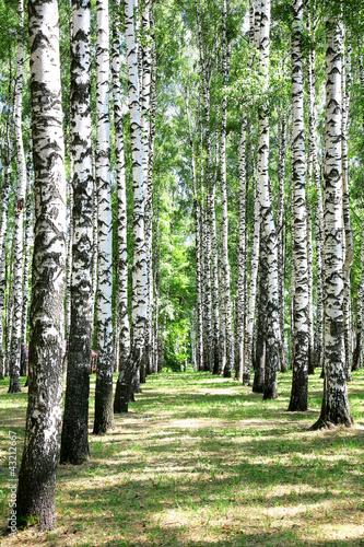 Deurstickers Berkbosje Alley in july birch grove