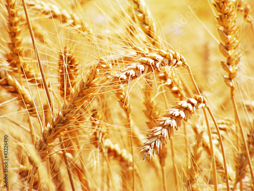 Wheat. Harvest time.