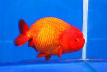 Gold Fish On Display, Bangkok, Thailand.
