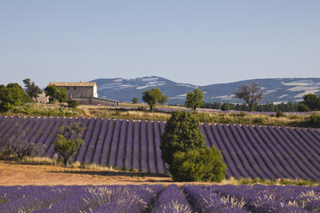Panel Szklany Lavender fields near to Ferrassieres in Provence.