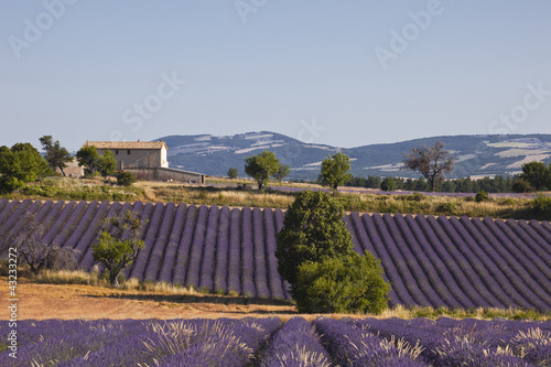 Tuinposter Lavendel Lavender fields near to Ferrassieres in Provence.