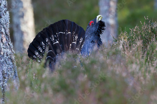 Fotografie, Obraz  Capercaillie Tetrao urogallus adult male displaying