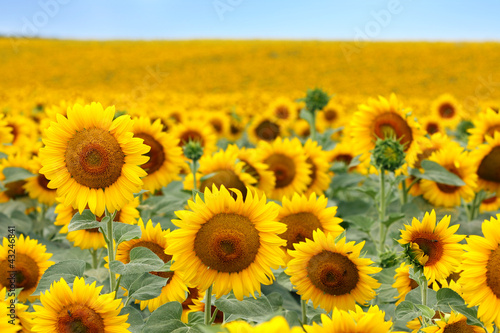 Foto op Canvas Zonnebloem Beautiful sunflower field