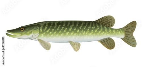 Fotografie, Obraz  Northern Pike (Esox Lucius) Freshwater Fish.