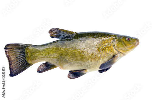 isolated on white big tench Canvas-taulu