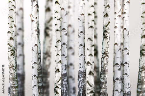 natural background - birch - wallpaper #43264231
