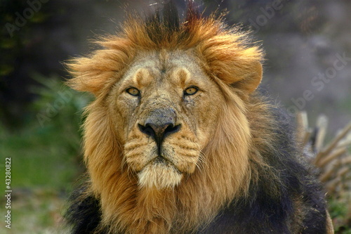 Portrait of a male lion (Panthera Leo) Wallpaper Mural